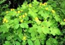Чистотел не только сорняк но и самое эффективное средство против тли и муравьев на участке